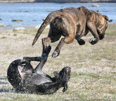 Flying Cane Corso by SaNNaS