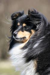 Aliccia the Shetland Sheepdog by SaNNaS