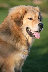 Anju, Tibetan Mastiff by SaNNaS
