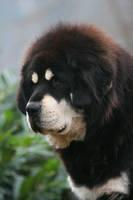 Bangha, the Tibetan Mastiff by SaNNaS