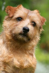 Flax the Norfolk terrier