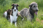Two very different Wolfhounds