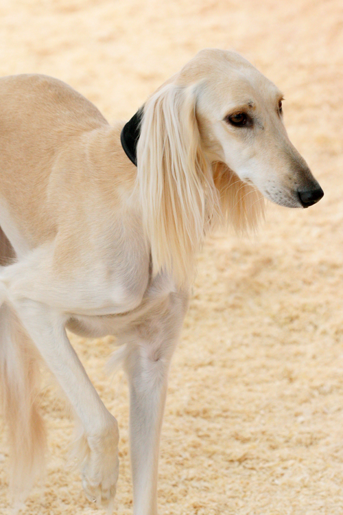 Saluki blending in by SaNNaS
