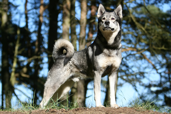 Swedish Elkhound by SaNNaS