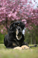 Lazy cherry blossom dog by SaNNaS
