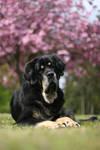 Lazy cherry blossom dog