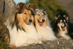 Collie trio