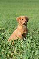 Nova Scotia puppy by SaNNaS