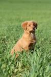 Nova Scotia puppy