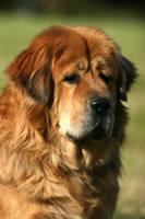 Fuzhu, the Tibetan Mastiff