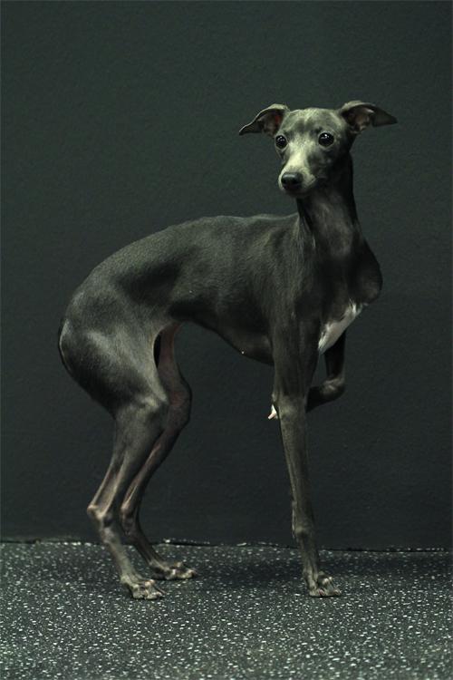 Italian Greyhound Black And White | www.imgkid.com - The ...