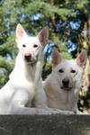 White Shepherd duo