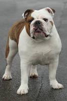 Miss Bulldog by SaNNaS