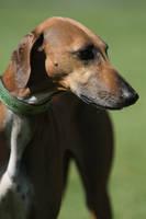 Sahel hound by SaNNaS