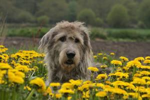 Giant dandelion dog by SaNNaS