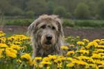 Giant dandelion dog