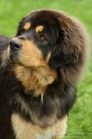 Tibetan Mastiff curious eyes