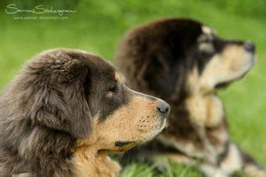 Important Tibetan Mastiff duty by SaNNaS