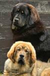 Tibetan Mastiff family photo