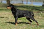 A swedish hound