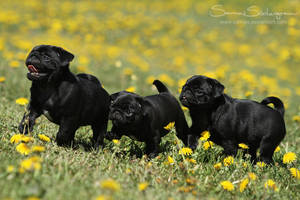 Licorice and dandelions by SaNNaS
