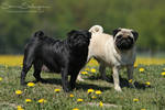 Pug, black and fawn