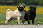 Pug, fawn and black