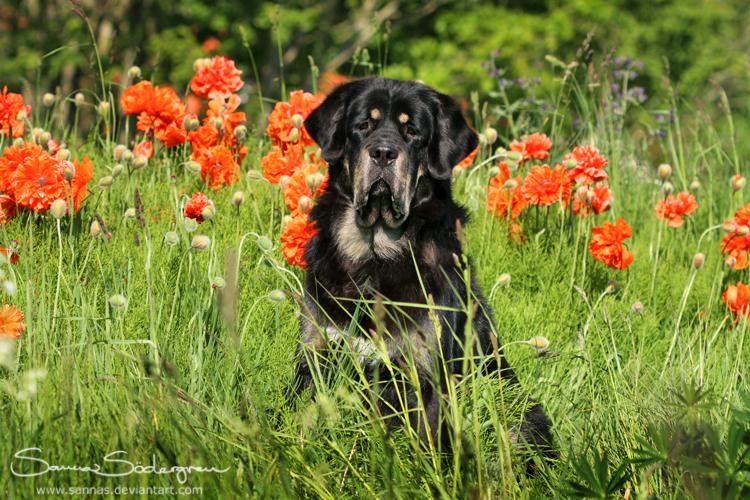 Poppy flower prince