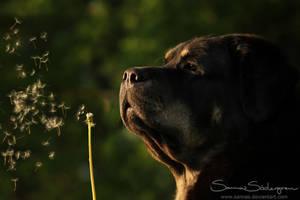 Dandelion by SaNNaS