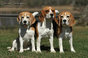 A bunch of Beagles