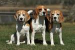 A bunch of Beagles by SaNNaS