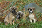Puppies of the Atlas mountains
