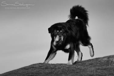 The Tibetan Mastiff by SaNNaS