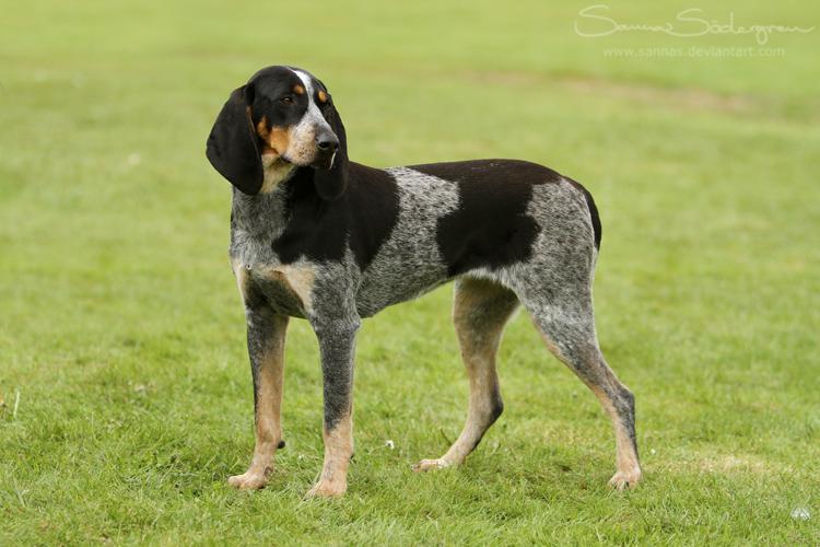 Bluetick Coonhound by SaNNaS