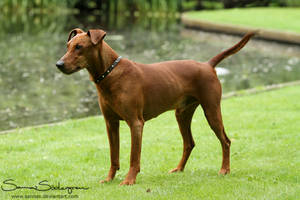 Tino the Pinscher by SaNNaS