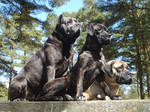 Cane Corso's on lookout