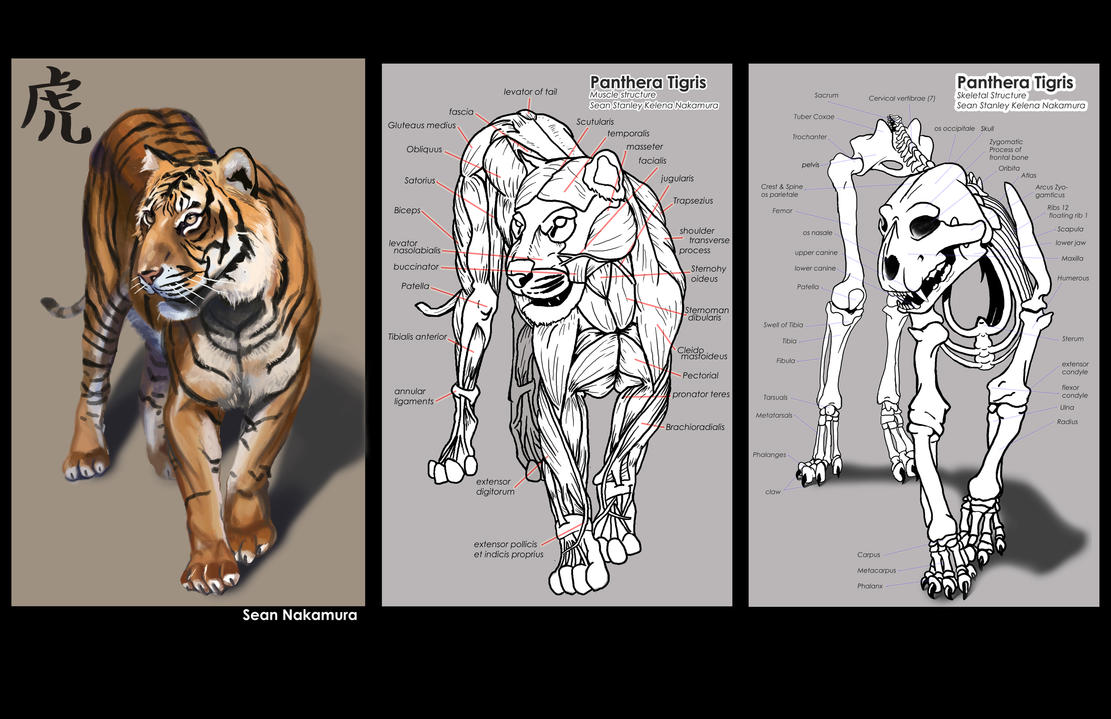 Real tiger paw anatomy