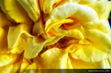 Yellow by valvik