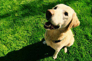 My Labrador Retriever 9 by Bigvicente