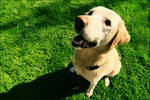 My Labrador Retriever 9