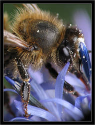 Bee on a thistle by Bigvicente