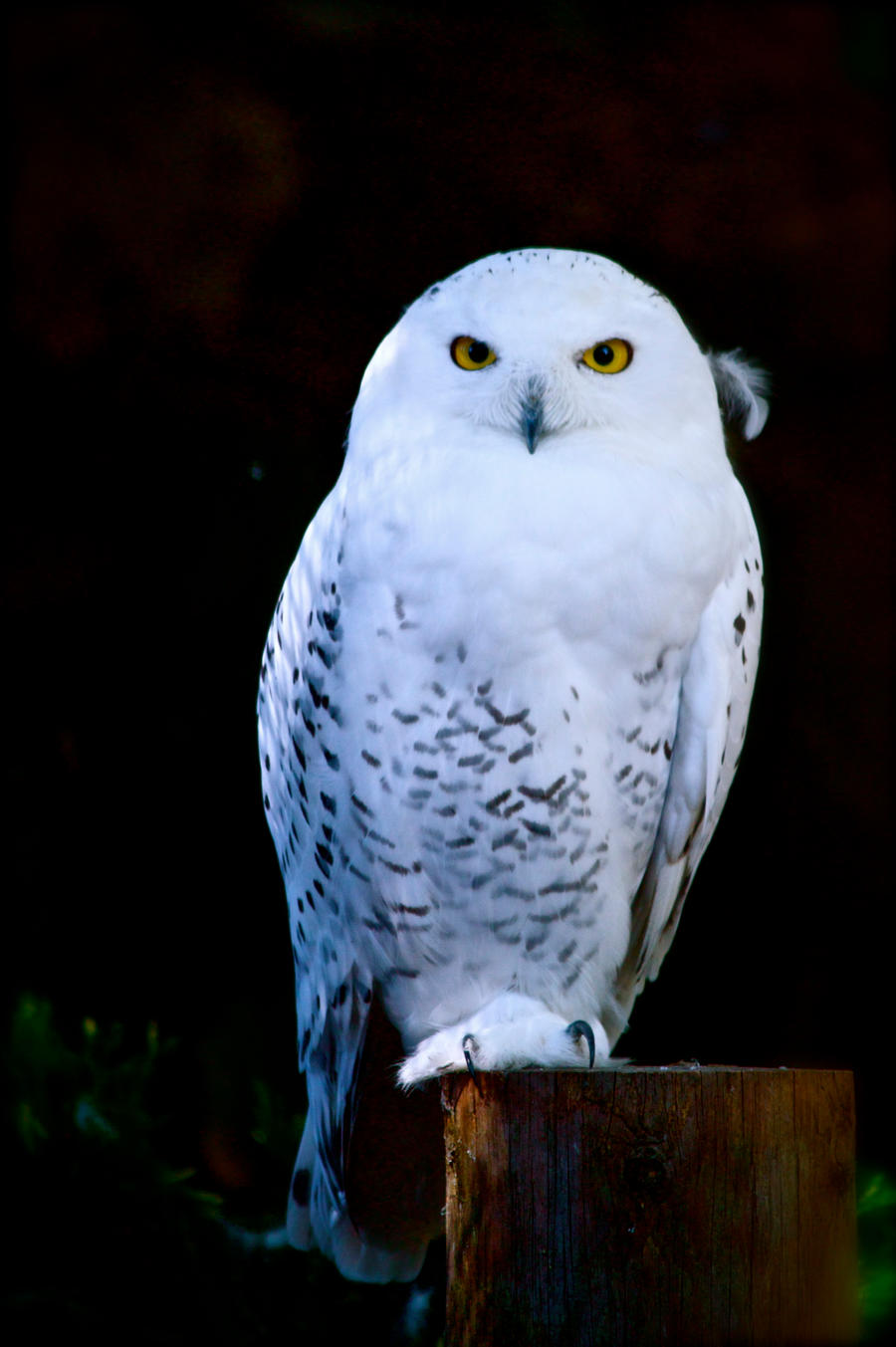 Snowy owl at night by ...D Link Camera Login