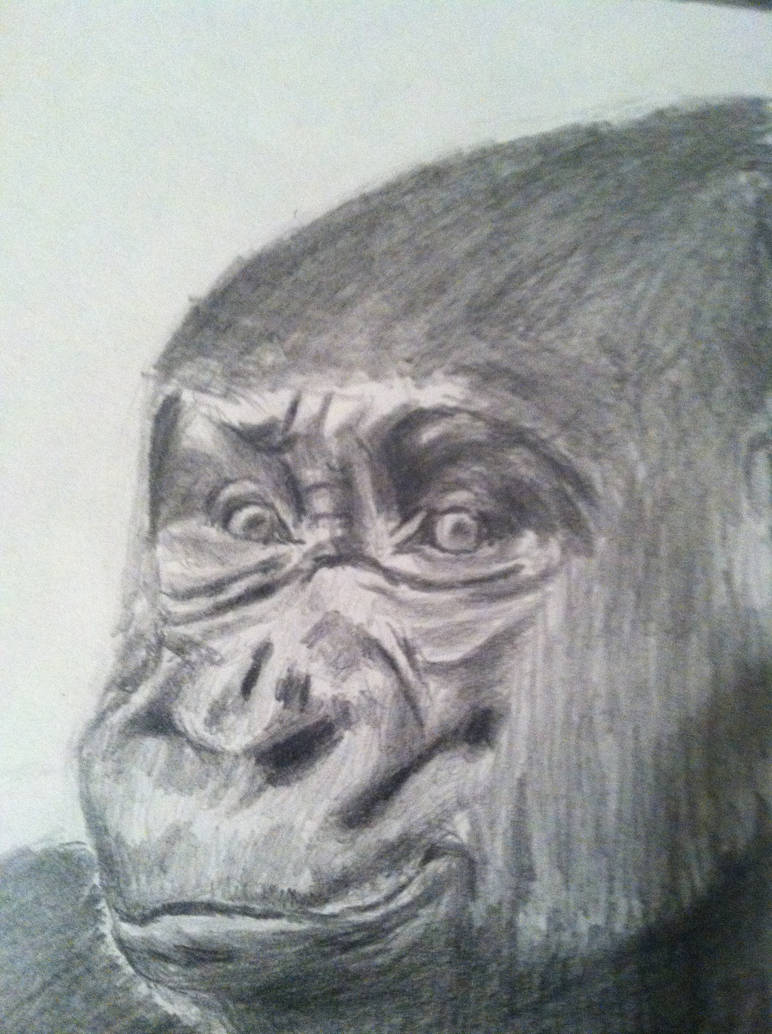 Pencil drawing of gorilla by floridastate on deviantart