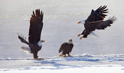 Bald Eagles Of Alaska