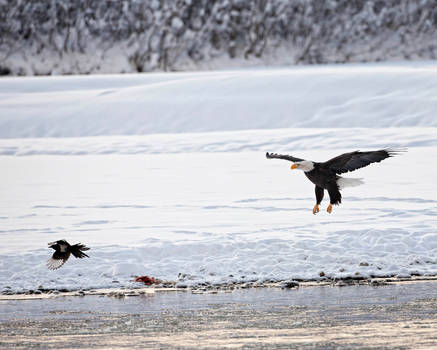 Bald Eagles Of Alaska - II