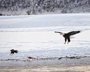 Bald Eagles Of Alaska - II