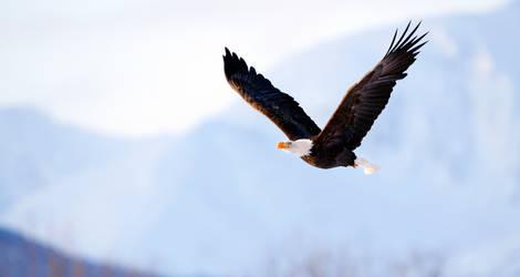 Bald Eagles Of Alaska -III
