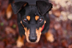 Pinscher by Maaira
