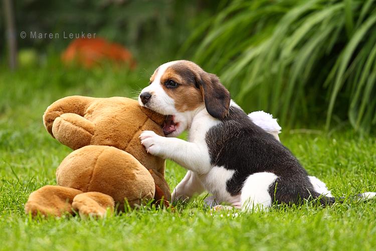 beagle puppy by Maaira