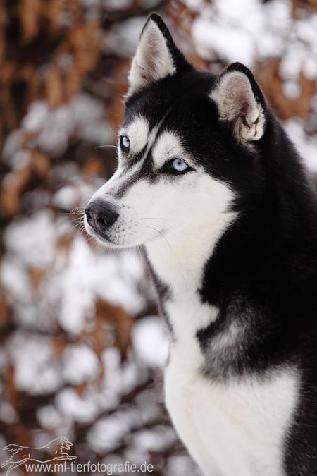 Siberian Husky. by Maaira
